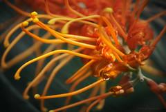 Grevillea nectar_c (gnarlydog) Tags: flowers red orange abstract tree closeup colorful bokeh australia grevillea vintagelens adaptedlens cinelens kodakanastigmat63mmf27