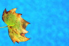 (timetomakethepasta) Tags: leaf floating drifting around pool swimming summer hot sunshine outdoors nature photography water blue aqua detail colorful