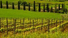 retour en val d'Orcia (jean-marc losey) Tags: primavera spring italia vert toscana valdorcia toscane printemps vigne italie cyprs d700