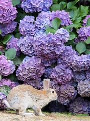 B6250610 (VANILLASKY0607) Tags: rabbit bunny bunnies nature animal japan photo wildlife wildanimal hydrangea rabbits rabbitisland wildrabbit okunoshima