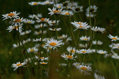 Big Daisies (paulinuk99999 - just no time :() Tags: flowers wild daisies collegelake paulinuk99999 sal70400g