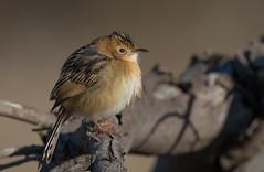 golden-headed cisticola (Cisticola exilis)-4009 (rawshorty) Tags: birds australia canberra act rawshorty