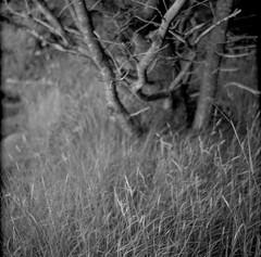trailside, tree trunks, branches, grasses, near Christmas Cove, Monhegan, Maine, Zeiss Ikonta M, Fomapan 400, Ilford Ilfosol 3 Developer, 6.26.16 (steve aimone) Tags: treeforms trunks branches grasses trail monhegan monheganisland maine monochrome monochromatic blackandwhite zeissikontam fomapan400 ilfordilfosol3developer epsonperfectionv500 120 film mediumformat
