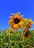 Sunflowers (Debbie Ashcraft) Tags: beginnerdigitalphotographychallengewinner