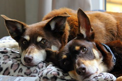 Whats on next dad !! (rufftytufty) Tags: kelpies dogs pets furry hairy noses ears workingdogs rescues save brown cream eyes