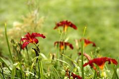 Daoulas_20160728_028 (bourjean29) Tags: france bretagne britanny finistere daoulas abbaye religieux expodaoulas jeanbourgeois bourgeoisjean canon5dmk2 fleur rouge