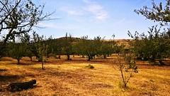 Comme une panthère dans la savane... Like a panthere in the savannah... [in explore] (Isa****) Tags: cerisiers céret tronc