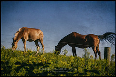 Equines, 2016.08.23 (Aaron Glenn Campbell) Tags: equines horses field outdoors goldenrod firehouseroad lehman backmountain luzernecounty nepa pennsylvania neighborhood neighbor morning rural country sony a6000 ilce6000 a6k mirrorless fe70200mmf4goss emount sel70200g