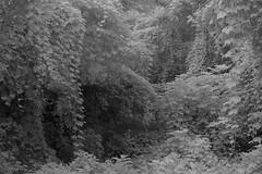 Mono (rod.hokpicture) Tags: cidade white black folhas monochrome nikon paulo so usp infravermelho filtro r72 kenko universitria mamonas d3100