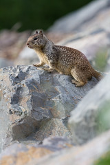On my rock (bitonio) Tags: squirrel mamal southbay california groundsquirrel