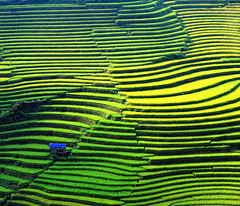 Rice fields on terraced in Vietnam (phuong.sg@gmail.com) Tags: china county travel bali food mountain plant green nature ecology field japan landscape asian thailand outside leaf asia cambodia control rice terrace earth farm burma ground system vietnam soil viet management valley malaysia plantation land environment myanmar local rough agriculture patchwork curve laos horticulture saigon sapa nam indochina regulation grows