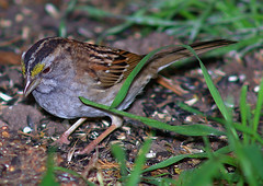 White Throated Sparrow (Dennis 27852) Tags: sparrow whitethroatedsparrow