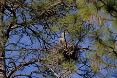 Great Blue Heron--Ardea herodias (Polioptila caerulea) Tags: bird birds heron ardeaherodias rookery pilotpeak california gbhe greatblueheronnest nevadacountybreedingbirdatlas greatblueheron nevadacounty ardea