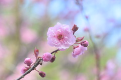 Flowering Plum (littlekiss) Tags: pink vancouver plum floweringplum littlekiss