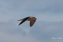 Prairie Falcon flyby sequence - 5 of 8