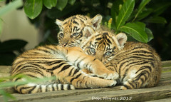 Comfy Cubs (Debshaynes) Tags: cute conservation sleepy cuddle cubs endangered tigercubs chesterzoo snuggled snoozy sumatrantigercubs