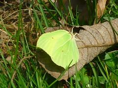 Zitronenfalter beim Sonnenbad (Jrg Paul Kaspari) Tags: butterfly leaf falter blatt mrz trier schmetterling 2015 zitronenfalter gonepteryxrhamni gonepteryx rhamni avelertal