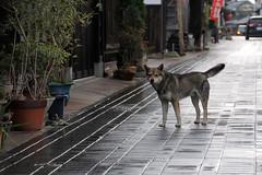 (Yorozuna / ) Tags: dog rain japan mammal hiroshima rainy straydog  stonepavement takehara  stonepaving                groupsoftraditionalbuildings  importantpreservationdistrictofhistoricbuildings honmachistreet