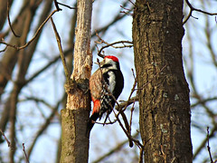 I am chivers ! (sindbadmorehod) Tags: woodpecker spotted middle dendrocopos middlespottedwoodpecker medius
