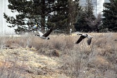 I didn't see many flying geese on my trip to the pond. (kennethkonica) Tags: usa nature birds animals america canon outdoors fly flying geese wings midwest indianapolis flight indy indiana hoosiers canonpowershot sx50hs