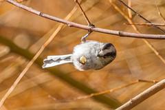 Long-tailed Tit (warren hanratty) Tags: wildlife wwt longtailedtit aegithaloscaudatus wwtslimbridge warrenhanrattyphotography
