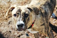 2 (BAMphotos1) Tags: dog baby cute love nature canon garden puppy sweet pitbull t5 canonrebel dslr canoneos pitmix canont5 canonrebelt5