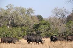 Syncerus caffer (Dindingwe) Tags: buffalo krugernationalpark capebuffalo kruger buffle knp synceruscaffer africanbuffalo buffledafrique