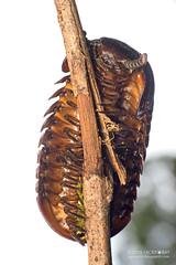 Giant pill millipede (Sphaerotheriida?) - DSC_3981 (nickybay) Tags: macro giant sabah millipede pill myriapoda sphaerotheriida tawauhill