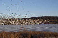 Snow Geese 2015 (Jocelyn Bassler) Tags: birds geese spring flock migration swarm middlecreek snowgeese