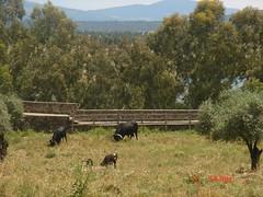 Granadilla, Cáceres (Rosaternero) Tags: naturaleza fauna rural spain pueblo ruinas toros ganado turismo cáceres granadilla puebloabandonado extremadura geografíahumana
