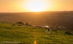 Sunrise and Nibbler - Streatley Hill (Mr Whites Paw Prints) Tags: dog rural sunrise landscape jackrussell nibbler streatleyhill