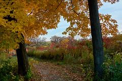 Splashed Paint (ggppix) Tags: autumn red orange color tree green fall wisconsin maple midwest peak sumac foliage madison edge variegated piebald prairie pied boundary effect russet tawny staghorn savanna motley captureonepro danecounty rhustyphina owenconservationpark fujifilmxpro1 garyglenprice fujinonxf18135f3556rlmoiswr
