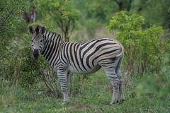 Suedafrika-6 (Lukas P Schmidt) Tags: nationalpark zebra krugerpark