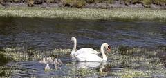 sur le lacs des cygnes  papa  et maman et les banbin (guerin.jeanpaul22) Tags: les des le papa sur lacs maman et cygnes banbin