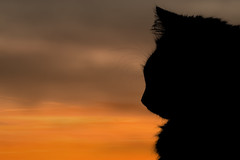 Every sunset brings the promise of a new dawn (FocusPocus Photography) Tags: sunset pet animal cat evening abend chat sonnenuntergang gato katze haustier kater tier fynn fynnegan