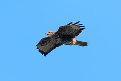 Common Buzzard (Nighley) Tags: buzzard bird wild outdoor sky blue flying bif animal