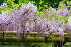 2016 Wisteria (shinichiro*) Tags: flower japan spring jp april  nara crazyshin wisteria 2016     afsnikkor70200mmf28ged  nikond4s 20160427ds30832