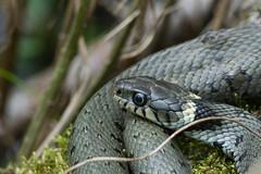 Grass Snake (finor) Tags: nature snake wildlife sony grasssnake ringelnatter natrixnatrix a6000 sal70400g2 ilce6000