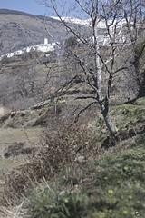 Entre el cielo y el suelo. (elojeador) Tags: nieve flor pueblo pasto monte montaa sierranevada tronco humo veleta hierba capileira lasalpujarras elojeador contendenciaaquedarmecalvo