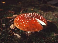 More Leura fungi  (Erland Howden) Tags: autumn red nature closeup australia bluemountains fungi nsw leura bluemtns