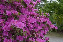 Azaleas are jealous (kzmiz) Tags: park flower japan azalea koen tochigi ashikaga ashikagaflowerpark nikond800e hasamacho