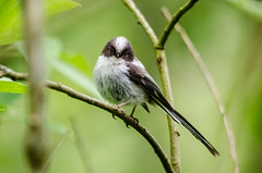 Long Tailed Tit (aegithalos caudatus) (phat5toe) Tags: nature birds nikon wildlife feathers penningtonflash avian wigan longtailedtit aegithaloscaudatus greenheart d7000 sigma150500