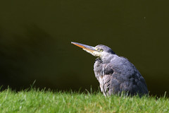 Heron (ufopilot) Tags: bird castle heron moat bute rothesay