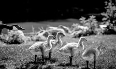 What's Happening?  (T.ye) Tags: family light portrait baby animal lens outside geese long outdoor wildlife canadian todd ye