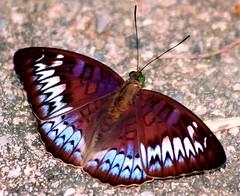 BUTTERFLY BINTAN ISLANDS RIAU ARCHIPELAGO (patrick555666751) Tags: butterfly indonesia islands asia south du east papillon asie mariposas indonesie insecte archipelago sud bintan est riau lepidoptere