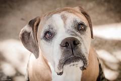 White face (Vinicius_Ldna) Tags: brazil dog pet white love face canon 50mm expression care caress londrina 1367 yongnuo yn460