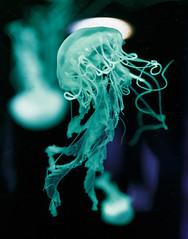 Mduses  l'Aquarium du Qubec (pagarneau) Tags: jellyfish mduse water underwater aquarium qubec canada animal sea