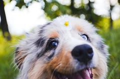 Happy Dog (Alice Veresova) Tags: dog mydog miniaussie flovers nature summer