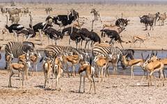 CAC_2450-20150925 (C&P_Pics) Tags: na bovidae namibia ostriches oryx springbok burchellszebra etoshanationalpark commonostrich hartmansmountainzebra omusati okaukuejocamptodolemitecampandhobarterelodge
