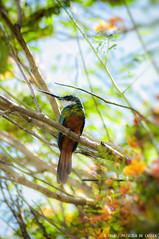 Hummingbird (Priscila de Cássia) Tags: wild naturaleza bird nature animal nikon colorful hummingbird bokeh wildlife natureza naturephotography nikond90